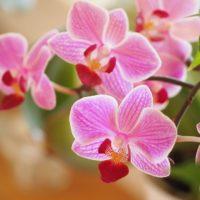 orchids-1910028_960_720 2
