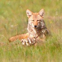 Coyote_&_badger_Valles_Caldera